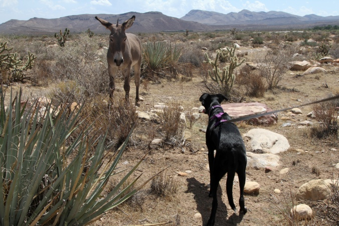 Burro on dog staring contest. (Spoiler alert: the burro wins.)